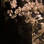 α7Sで撮った小手指の夜桜