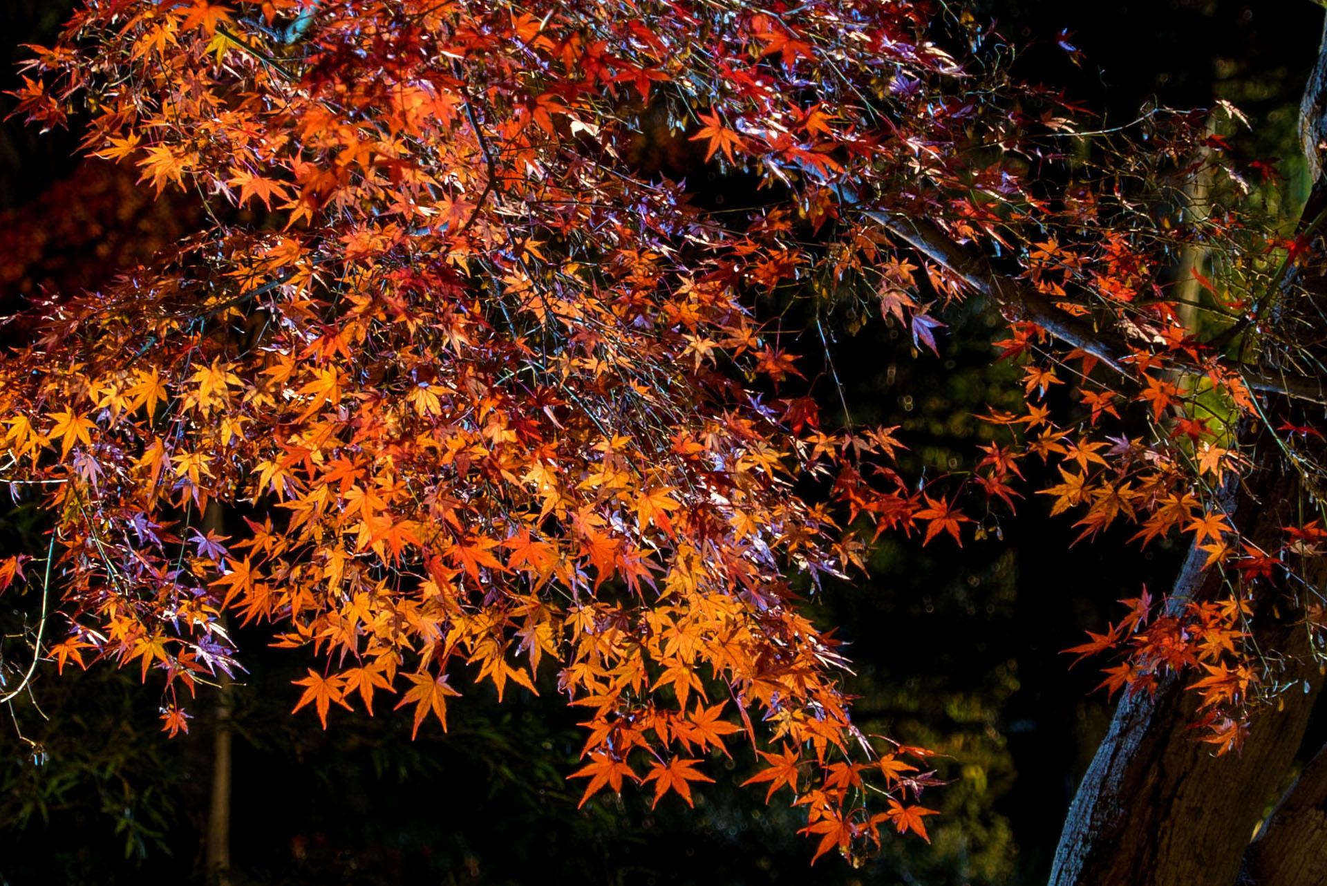 向山庭園の夜間紅葉ライトアップ
