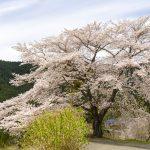 吾野の「八徳の一本桜」と大冒険〈2017年〉