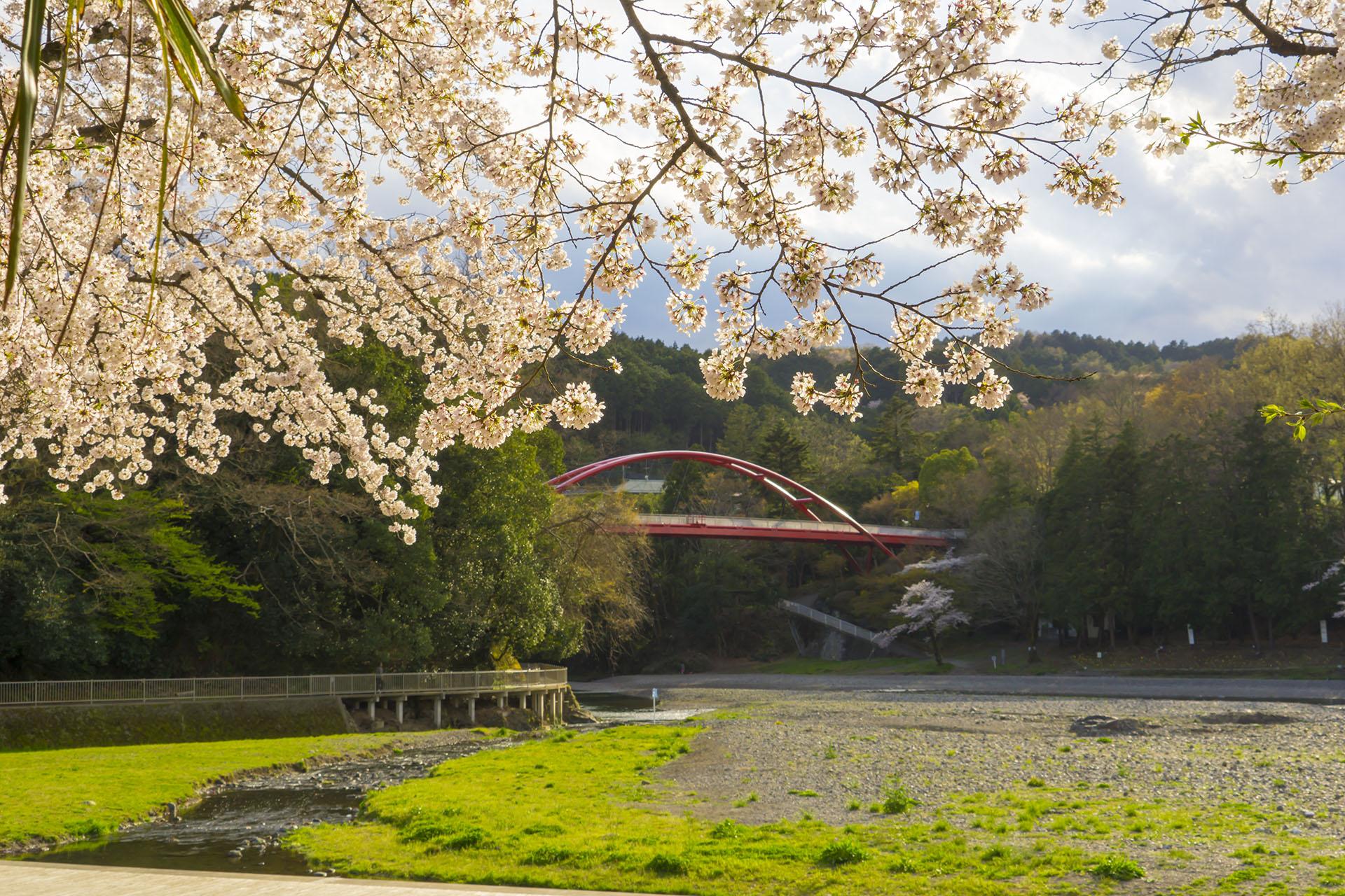 飯能河原の桜〈2017年〉