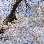 小手指駅周辺の11カ所で桜めぐりをしてきた