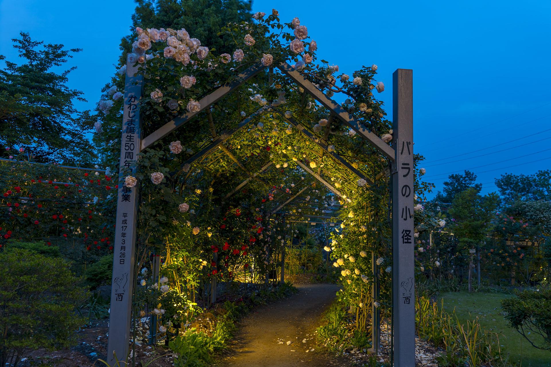 バラのトンネルを見に平成の森公園へ(2回目)