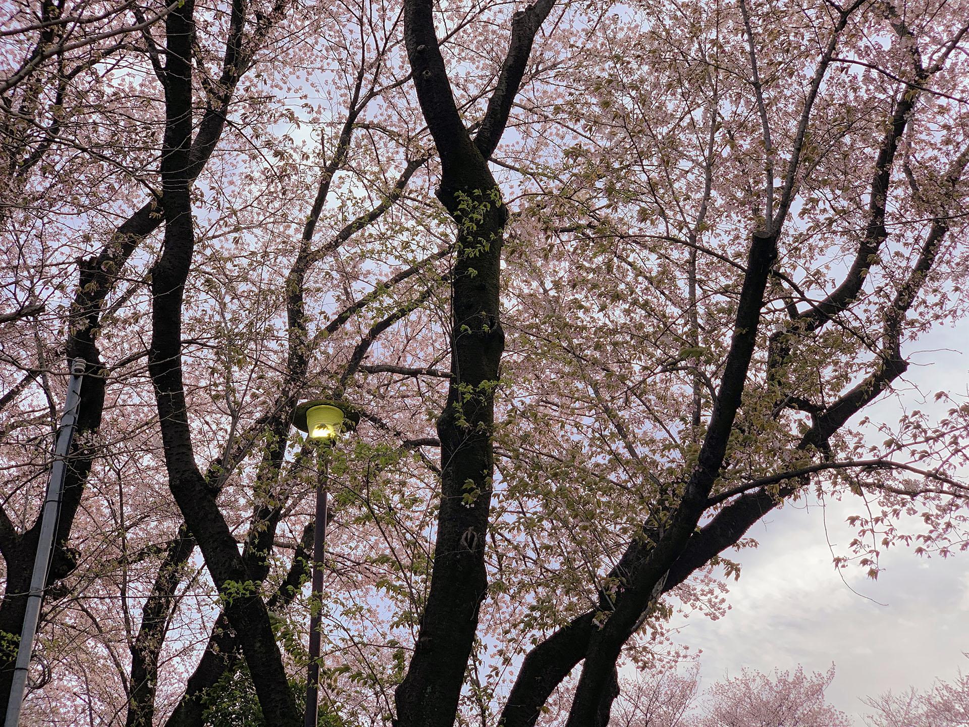 Googleフォトで桜の写真を補正