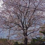 小平の泉蔵院の桜〈2020〉